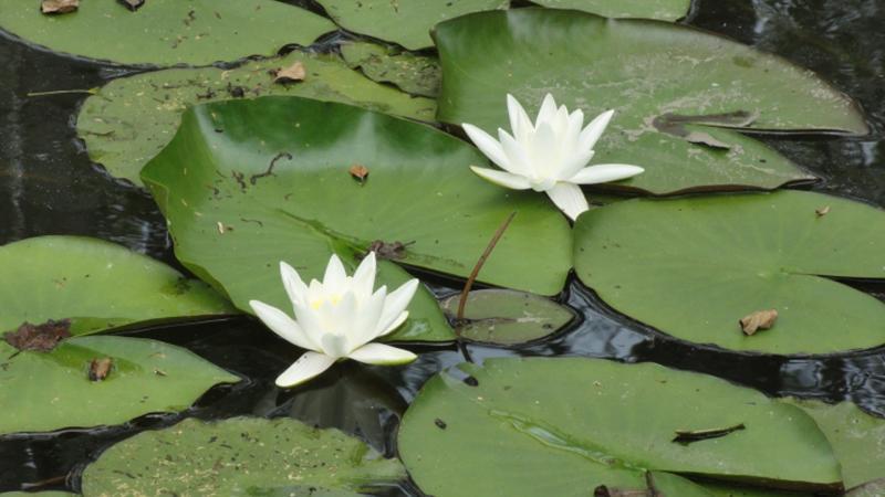 Nymphaea alba sul Lago di Candia - Parco Naturale