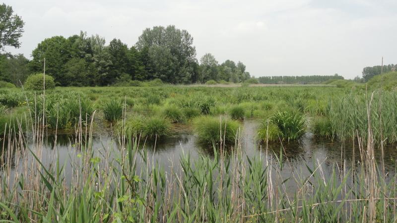 Cariceto in palude - Parco Naturale del Lago di Candia
