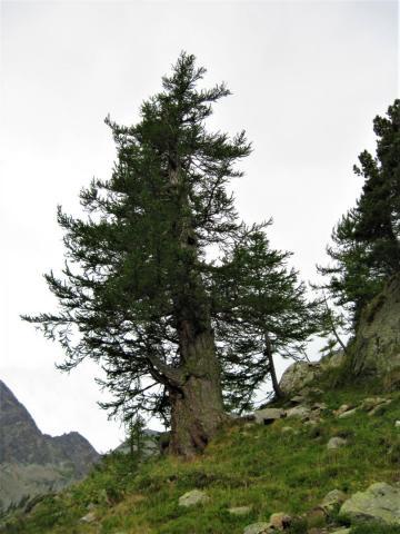 Vista dell'intero albero (foto archivio IPLA)