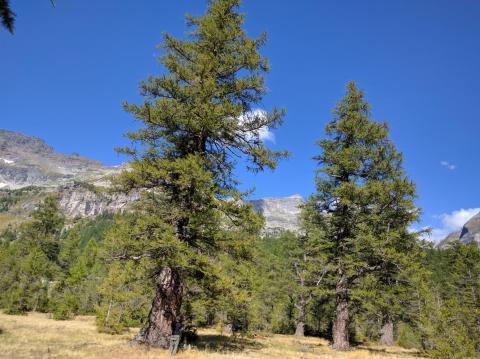 Singoli larici monumentali dell'Alpe Veglia (Foto: Pier Giorgio Terzuolo)