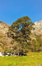 La rovere di Premosella (foto Marco Dresco  - Carabinieri Forestali)